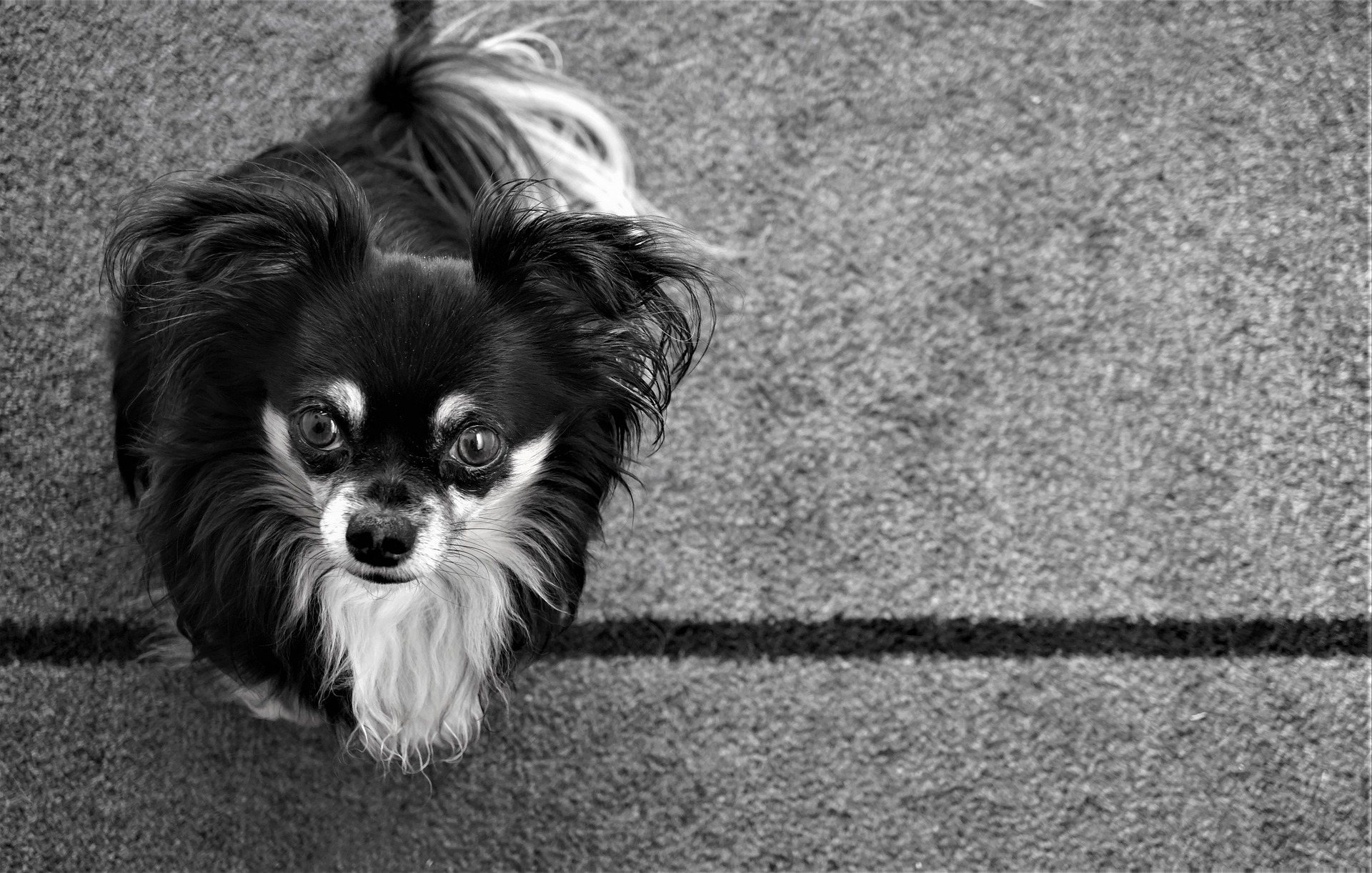 chihuahua sitting on gray carpet looks sorry for causing damage